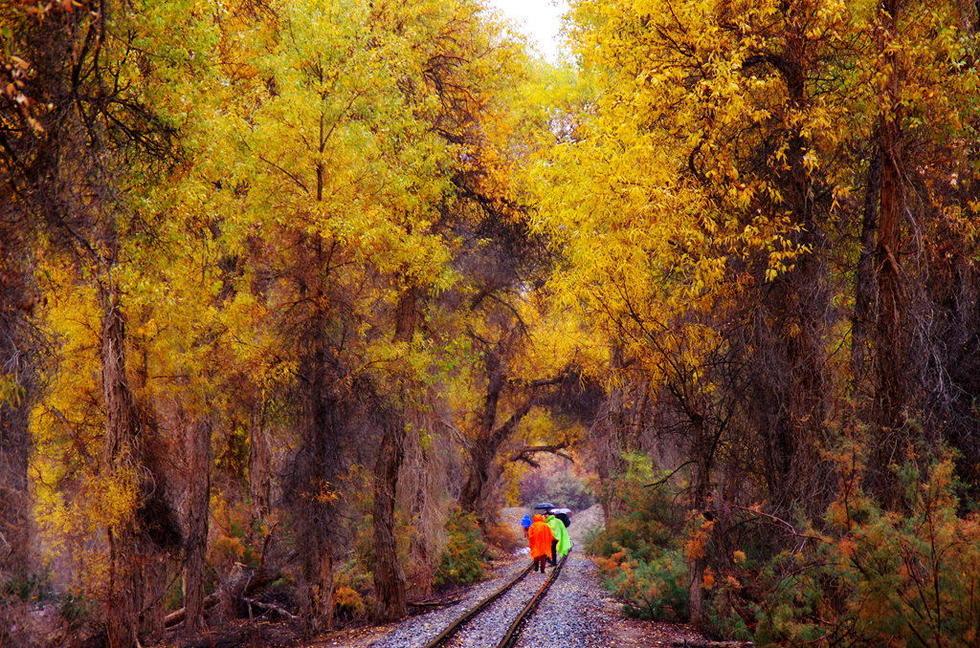新疆轮台塔里木河两岸的胡杨林披黄挂金,在胡杨林中还有一条长达